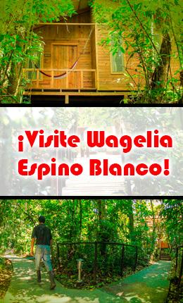 Wagelia Espino Blanco